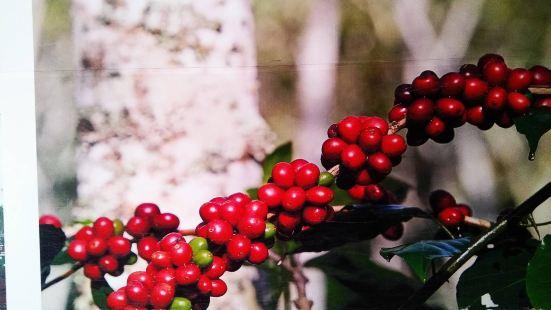巴厘島黃金金兔咖啡工廠