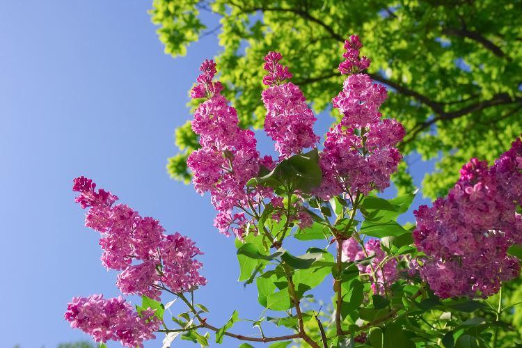 전장 벚꽃 공원1