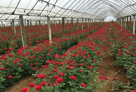 澤普縣鮮切玫瑰花種植基地