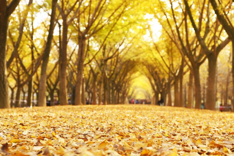 Ginkgo Time Tunnel1