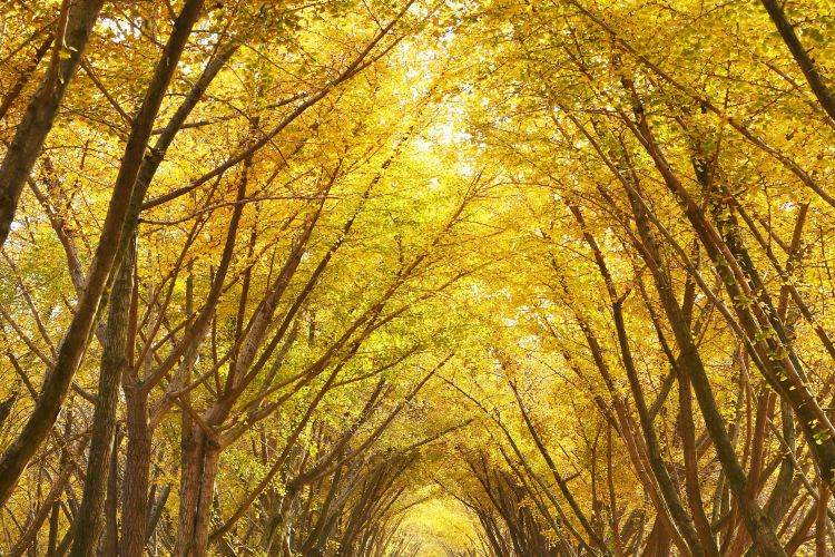 Ginkgo Time Tunnel3
