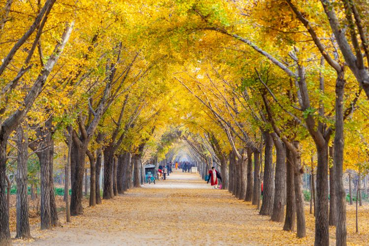 Ginkgo Time Tunnel