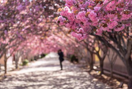 라이양쥐춘(래양탁촌) 벚꽃마을