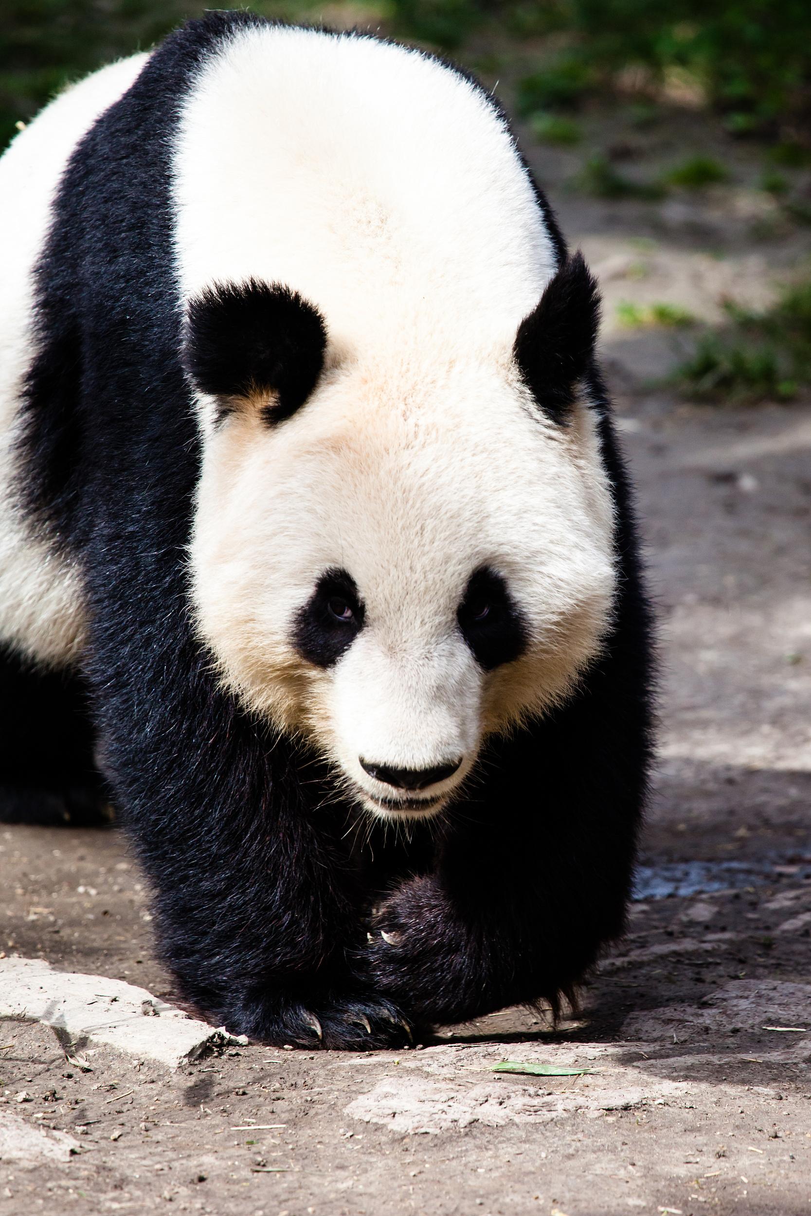 Wolong China Panda Garden Shenshuping Base