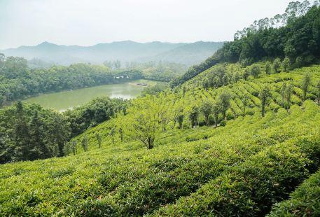 Yannanfei Tea Fields