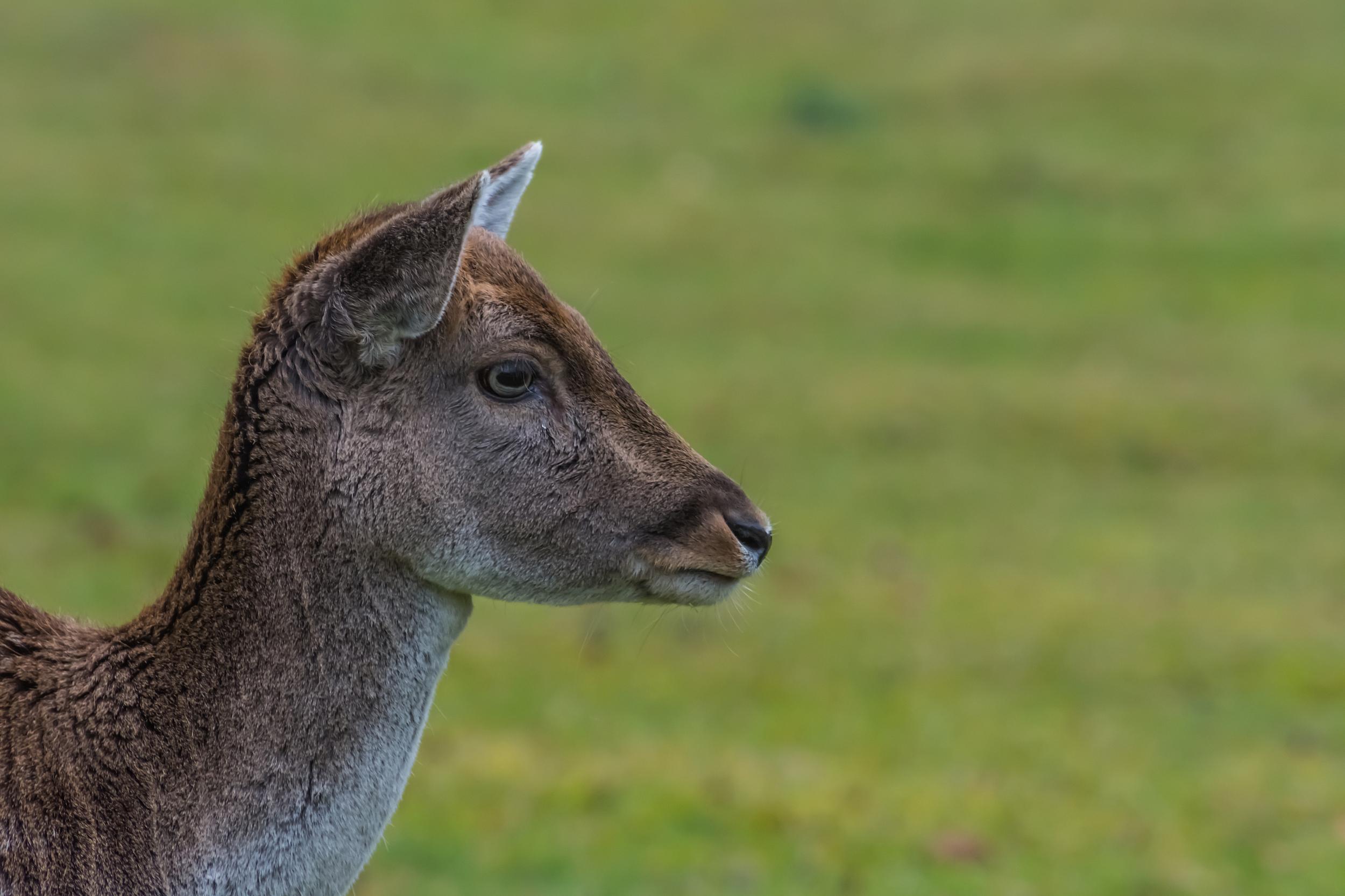 Jinshan Deer