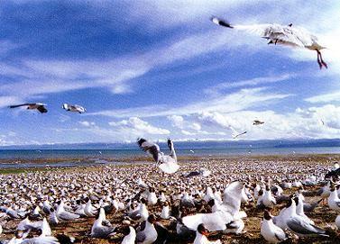 青海湖鳥島