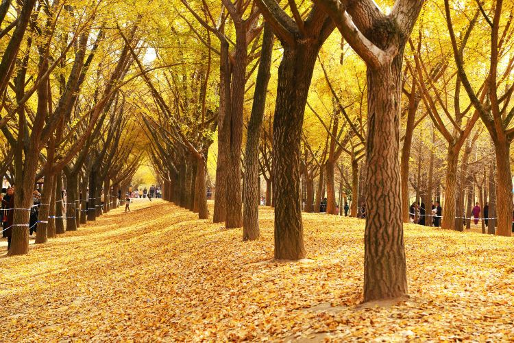 Ginkgo Time Tunnel2