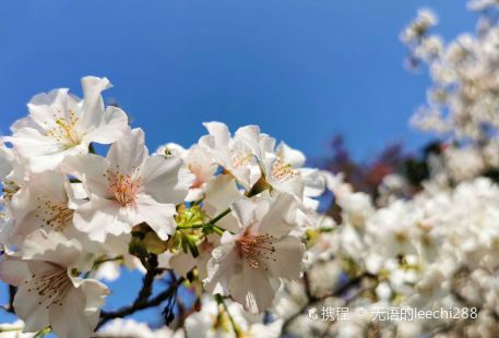 Xinfeng Cherry Blossom Valley