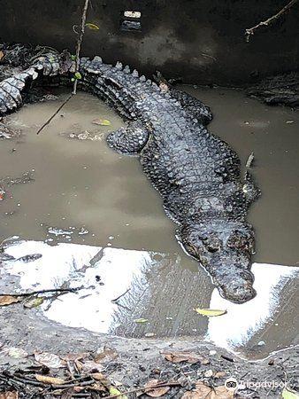 山打根鱷魚養殖場4