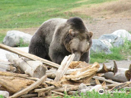 灰熊與狼保護中心4