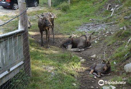 Moose Af Annerod