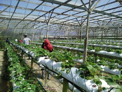 Raju Hill Strawberry Farm