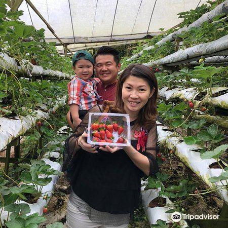 Kok Lim Strawberry Farm2