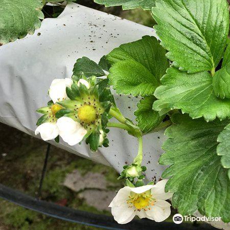 Kok Lim Strawberry Farm4