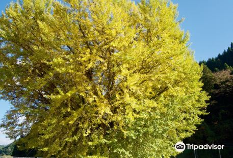 Former Hinoue Primary School Large Ginkgo Tree