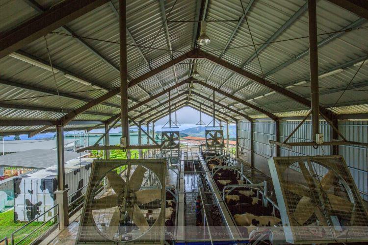 Desa Cattle Dairy Farm1