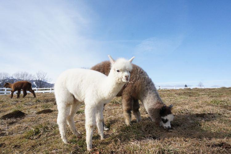 那須羊駝牧場1
