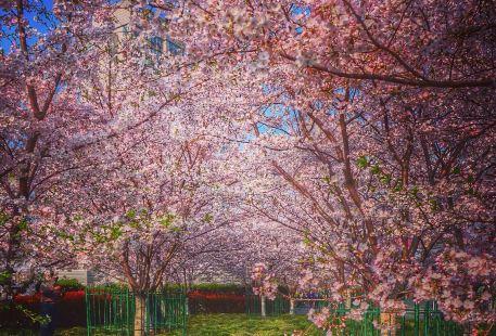 China-Japan Friendship Cherry Garden