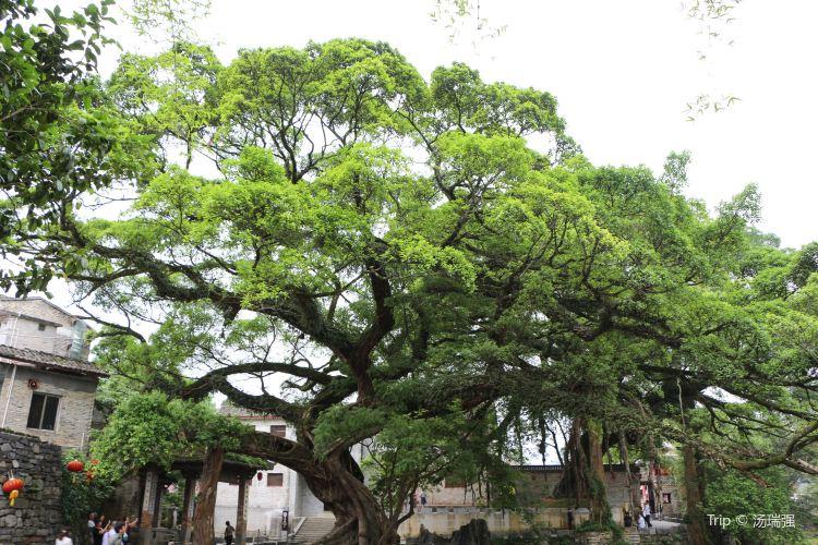 Dragon Claw Ficus1