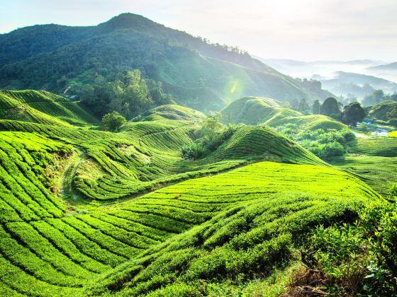Boh Tea Estate