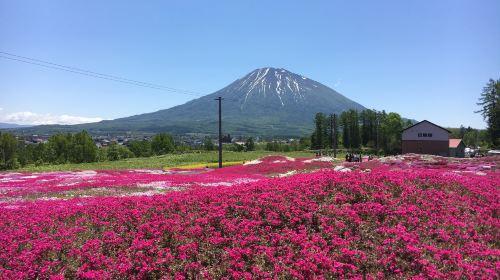 Mishima Shiba Sakura Garde