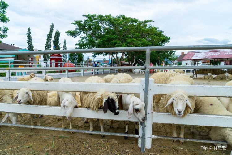 華欣瑞士綿羊牧場4