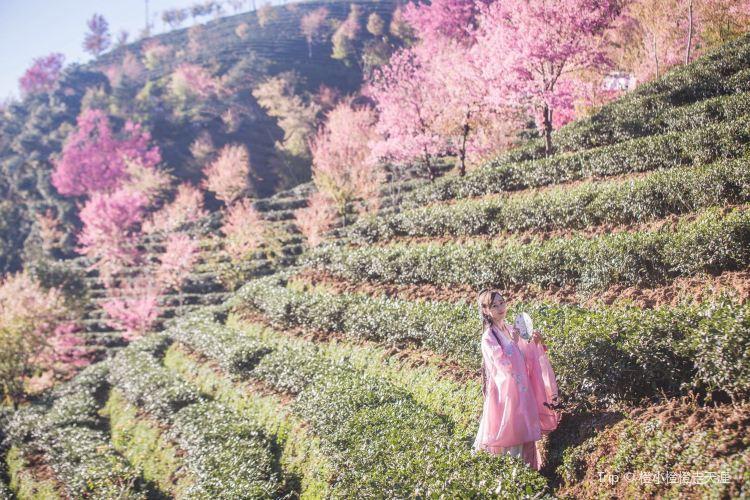 Wuliang Mountain Sakura Valley3