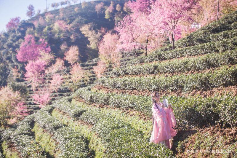 Wuliang Mountain Sakura Valley