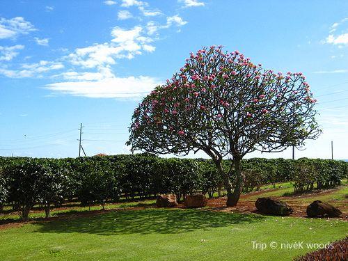 Kauai Coffee Company1