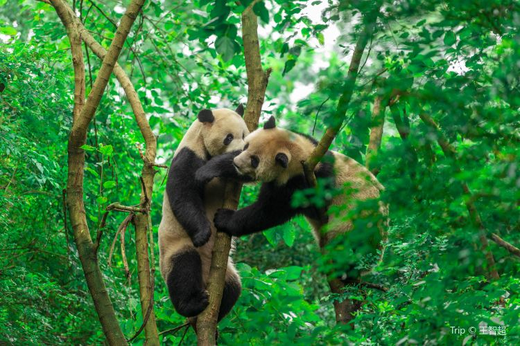 Chengdu Research Base of Giant Panda Breeding1