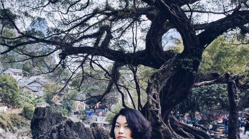 Dragon Claw Ficus