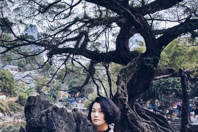 Dragon Claw Ficus4