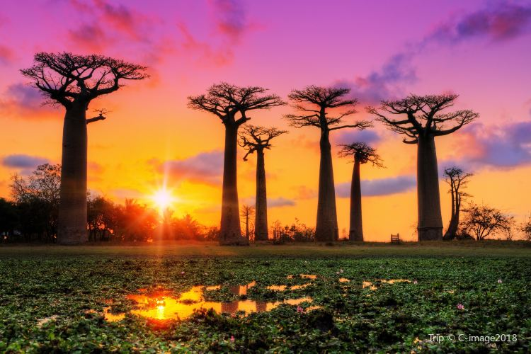 Avenue of the Baobabs1
