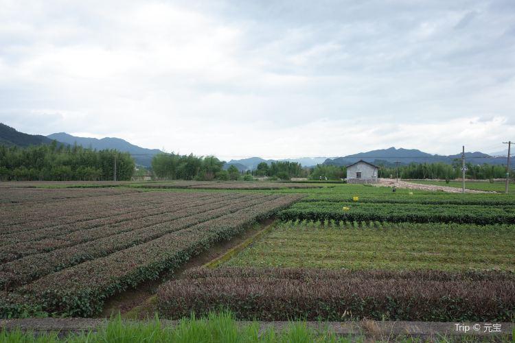 大木山茶園景區3
