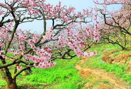 Songlin Peach Blossom