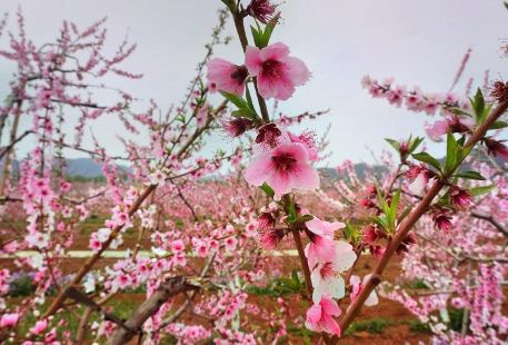 Peach Blossom Sea