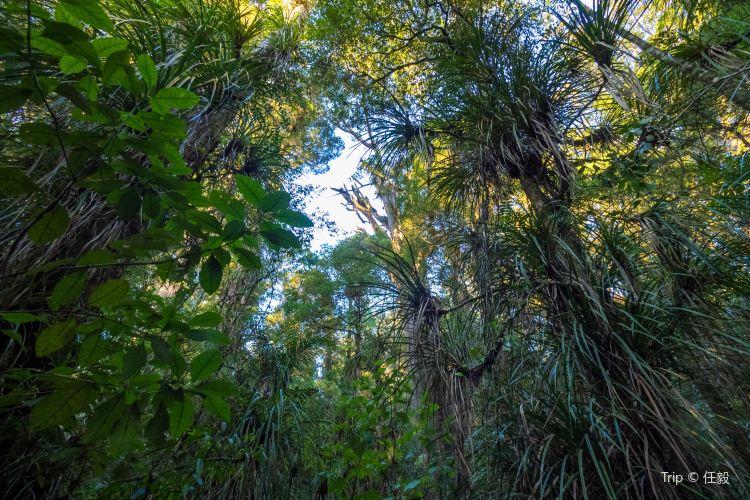 懷奧貝殼杉樹林2
