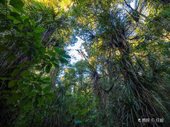 懷奧貝殼杉樹林