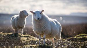 Isle of Skye,animals