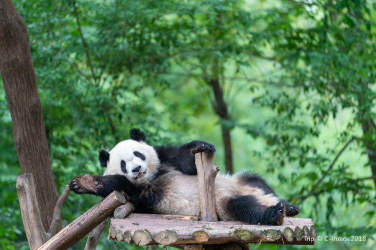 Chengdu Research Base Of Giant Panda Breeding Travel Guidebook Must Visit Attractions In Chengdu Chengdu Research Base Of Giant Panda Breeding Nearby Recommendation Trip Com