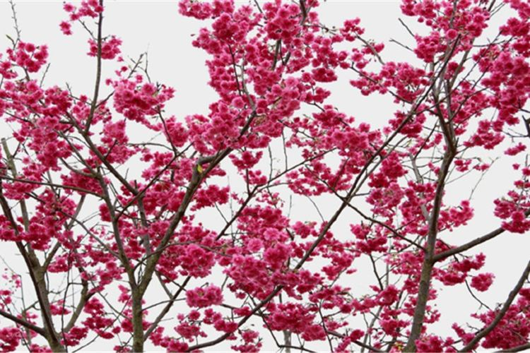 Guiyang Cherry Garden2
