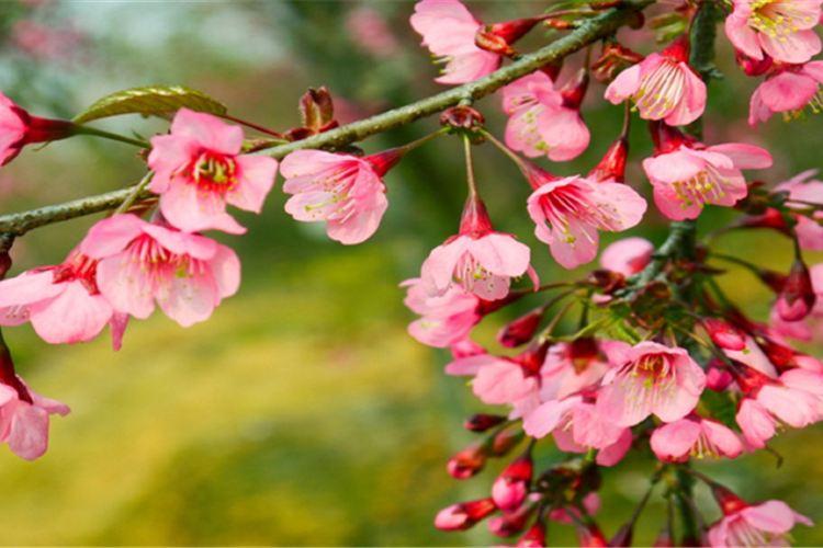 桂陽櫻花園1