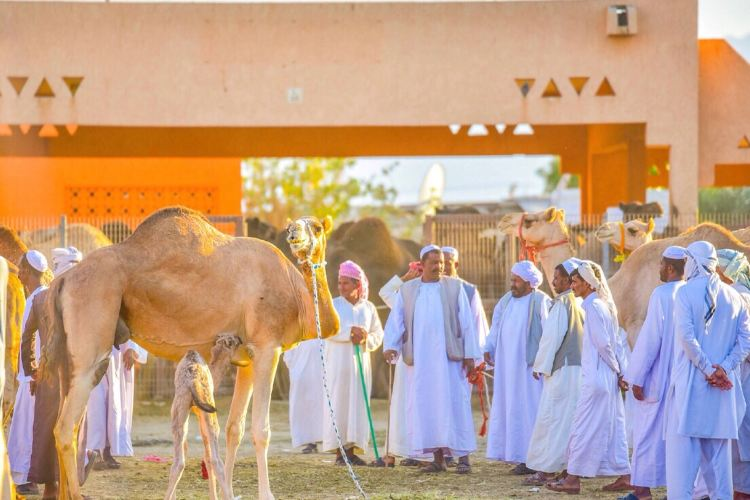 Al Ain Camel Market3