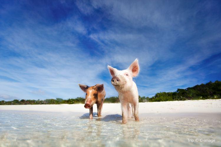 Pig Beach1