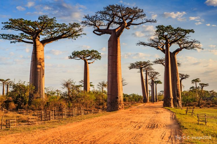 Avenue of the Baobabs4