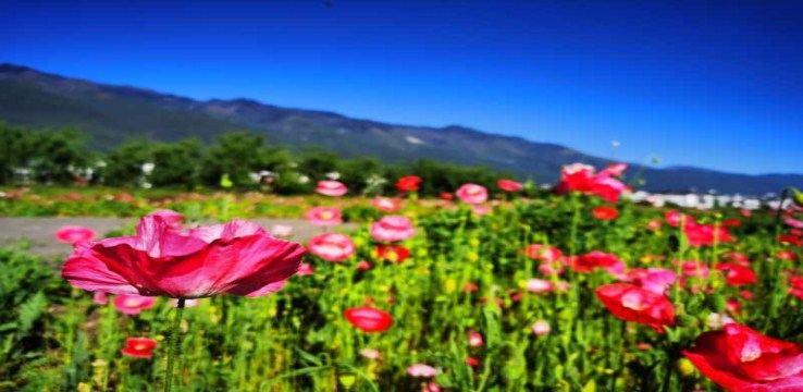 Yunshang Flower Sea2