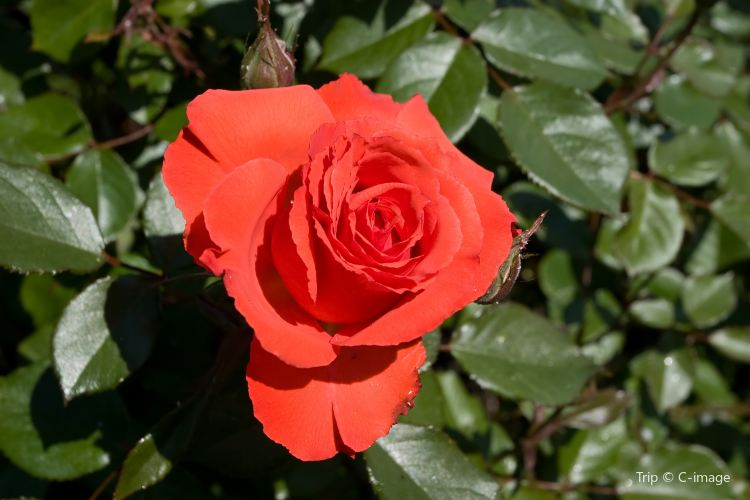 Municipal Rose Garden2