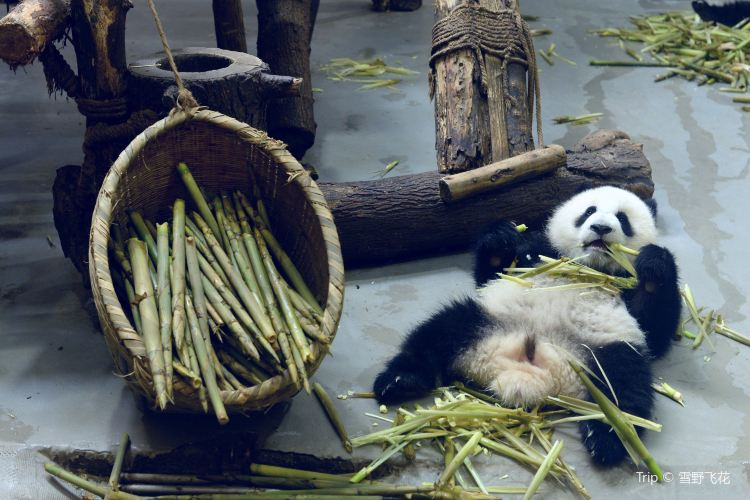 Chengdu Research Base of Giant Panda Breeding3