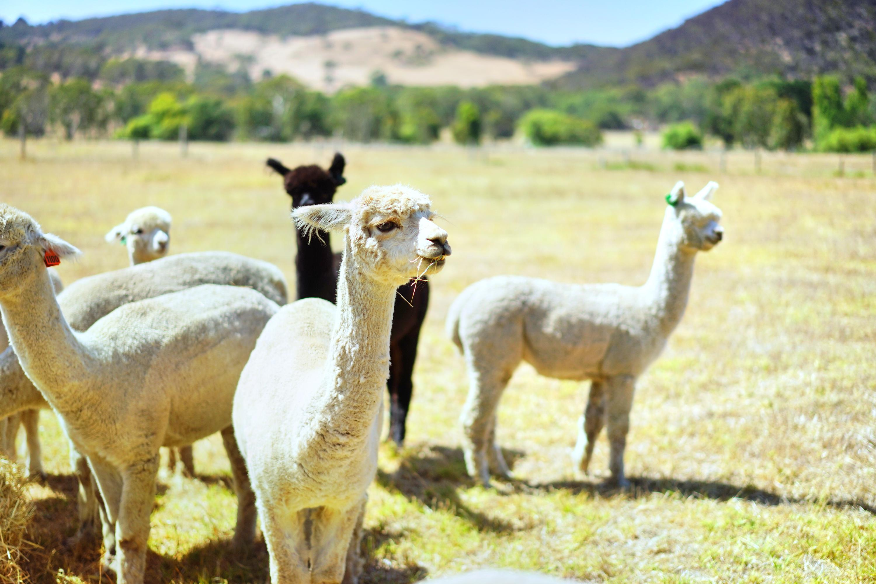 Softfoot Alpaca Farm